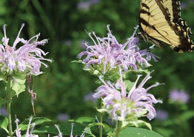 Tiger  Swallowtail on Bee Balm