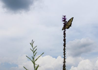 Tiger Swallowtail on Liatris