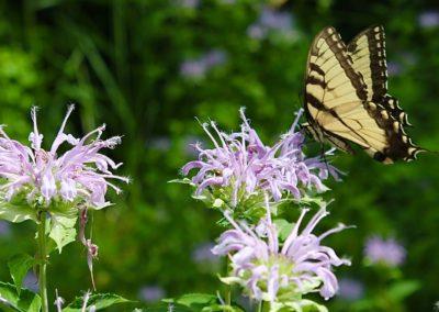 Bee Balm & Tiger Swallowtail