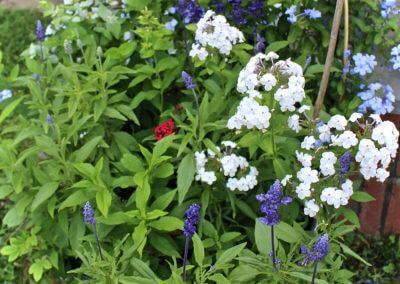 Phlox & Salvia