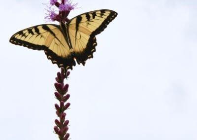 Liatris & Tiger Swallowtail