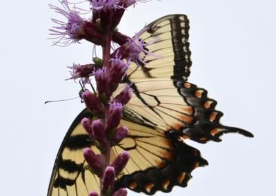 Tiger Swallowtail & Liatris