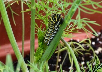 Celery & Black Swallowtail Caterpillar