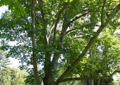 A Senior Tree